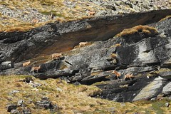 Camoscio Alpino - Rupicapra Rupicapra (ddgp) Tags: italia piemonte parconazionalegranparadiso ceresolereale
