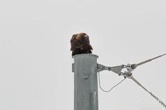 Watchful Golden Eagle