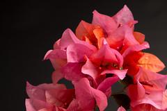 still life black -14 (MARTINEZ PHOTOGRAPHY JP) Tags: flowers music flores flower cup flor it violin be beatles coffe let bugambilias