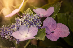 Flowers (marcelo.guerra.fotos) Tags: light flower beautiful photoshop garden photography photo lightroom flowerscolors canonefs18135mm
