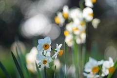 ニホンズイセン/Narcissus tazetta var. chinensis (nobuflickr) Tags: flower nature japan kyoto 日本 花 thekyotobotanicalgarden 京都府立植物園 awesomeblossoms narcissustazettavarchinensis ニホンズイセン ヒガンバナ科スイセン属 20160114dsc08611