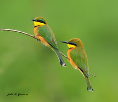 JHG_8802-b Pair of tiny Little Bee-Eaters, Masai Mara, Kenya. (GavinKenya) Tags: africa wild nature animal june john mammal photography gavin photographer kenya african wildlife july grand safari dk naturephotography kenyasafari africansafari 2015 safaris africanwildlife africasafari johngavin wildlifephotography kenyaafrica kenyawildlife dkgrandsafaris africa2015 safari2015 johnhgavin