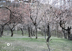 Blossom Tree (Furqan LW) Tags: pakistan tree nature blossom northern hunza gilgit furqan furqanlw