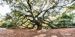Panoramic shot of the Angel Oak, Charleston SC (Sherry Galey) Tags: southcarolina charleston angeloak