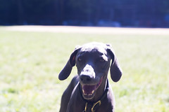 hallo! (VanaTulsi) Tags: dog weimaraner weim blueweimaraner vanatulsi blueweim