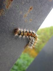 Gusanito (Cristbal R.V.) Tags: insect worm gusano insecto