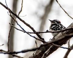 Woodpecker (ralph miner) Tags: cardinal northerncardinal hawthornehill