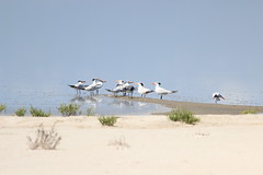 The gulls chattering (josephalantaylor) Tags: water gulls horizon surreal mooning glassy southpadreisland lagunamadre