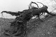 DSC01515 (drahcir31370) Tags: mort lac arbre