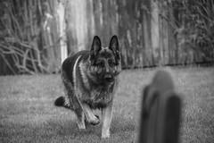 Dog Garden2 BW (FurtiveOutsider) Tags: blackandwhite bw dog pet white black garden mono shepherd german alsatian