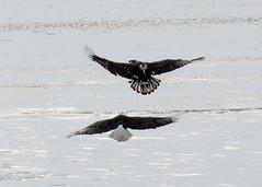 Fight is on (TKovener) Tags: lake fish over bald indiana fighting eagles mississinewa