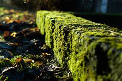 in the light (Conrad-N) Tags: moss dof bokeh moos