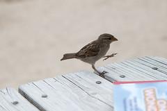 Dancing Bird on Porthgwidden Beach St Ives (JJCHansdad) Tags: st canon cornwall ives porthgwidden 70d