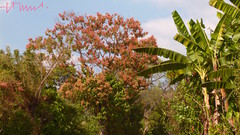 Mulato & Banana, El Salvador (ssspnnn) Tags: bananeira banana polygonaceae sanvicente musaceae pansonic triplaris apastepeque spereira lagunadeapastepeque lumixfz60 spereiranunes snunes spnunes palodebanana