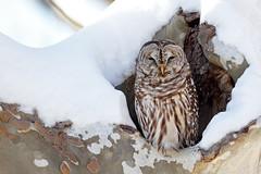 Barred Owl - Pennsylvania (Geoff Malosh) Tags: unitedstates adult pennsylvania owl roosting barred barredowl alleghenycounty boycemayviewpark