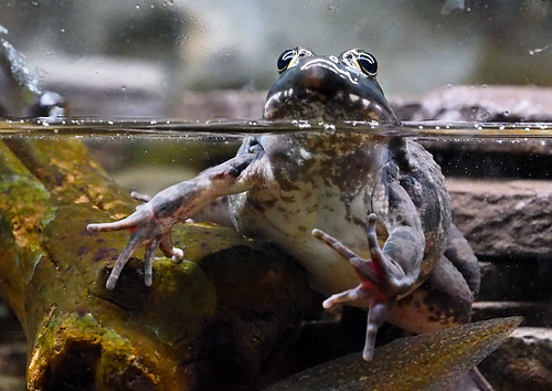 Greater Cleveland Aquarium 01-22-2015 - Green Frog 2