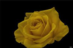 Gelbe Rose / Yellow Rose (Katz-Ffm) Tags: flower nature rose yellow yoga germany deutschland hessen blossom frankfurt natur gelb blume makro tamron blte nikond3300