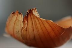 Onion (notpushkin) Tags: onion peel zwiebel schale ocker
