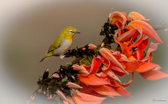 Yellow Flame_ (achuaniaku) Tags: orange birds yellow aves oriental whiteeye d610 300mmf4 flameofforest