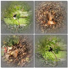 Little Tale (Tlgyesi Kata) Tags: autumn mosaic turdusmerula botanicalgarden redsquirrel mozaik sciurusvulgaris commonblackbird fvszkert eurasianredsquirrel botanikuskert feketerig withcanonpowershota620 vrsmkus eurpaimkus kznsgeserdeimkus