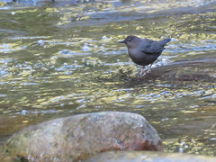 American Dipper (C Wood) Tags: family creek bc britishcolumbia mapleridge kanaka cliffpark
