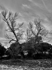 Old tree in autumn without leaves (Alejandro Hernández Valbuena) Tags: wood old autumn winter bw white plant tree nature leaves asian one background bare branches large bark single trunk weathered aged deciduous damaged isolated dormant