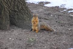 Squirrels in Ann Arbor at the University of Michigan (January 25, 2016) (cseeman) Tags: squirrels annarbor michigan animal campus universityofmichigan umsquirrels01252016 winter eating peanut acorns januaryumsquirrel snow snowy gobluesquirrels umsquirrel foxsquirrels easternfoxsquirrels michiganfoxsquirrels universityofmichiganfoxsquirrels