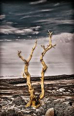 Arbre de genvrier morte ! (Juniperus phoenicea) (Lil d'un Naturaliste) Tags: algeria amour algrie djebel  aflou laghouat