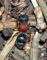 Velvet-ant Ephutomorpha blanda (Simon Grove (TMAG)) Tags: australia tasmania hymenoptera insecta taroona mutillidae tasmanianmuseumandartgallery ephutomorpha tmagzoology february2016
