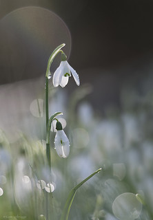 Snowdrops in morning light