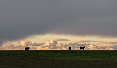 Mules Grazing under Low Clouds (zuni48) Tags: sunset silhouette clouds rural landscape farmland lancaster mules goldenhour lancasterpa pature zunikoff