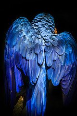 Blue-and-yellow macaw (chrissmithphotos1) Tags: ocean camera blue red sea portrait pet color cute bird art nature beautiful look animal yellow closeup gold zoo islands view shot pacific bright expression vibrant wildlife fine wing beak young feather fluffy parrot nobody domestic parakeet tropical aviary endangered talking staring macaw curiosity facial climate captivity imitation toward