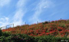 Poppies and roses and a bird (DameBoudicca) Tags: blue red summer sky flower rot fleur azul rouge rojo estate sweden blu sommer schweden flor himmel ciel cielo poppy poppies verano blomma sverige blau   fiore blte rosso   suecia sommar papaver bl mohn rd sude  svezia papavero  vallmo et kseberga