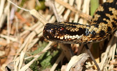 Mothers Day Adder. (Steviethewaspwhisperer) Tags: snake adder glenesk