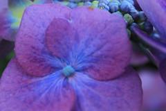 IMG_4519 (honeycakedog) Tags: blumen rgen farbe ruegen intensiv farbenpracht
