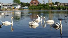 Swans in Sunlight and Shadow (grinnin1110) Tags: swimming river germany de deutschland europe wiesbaden hessen schwimmen main schwan vogel hesse cygnusolor whiteswan mainufer höckerschwan maaraue