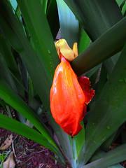 A flor vermelha que caiu do galho (Jos Argemiro) Tags: flower flor redflowers galho florvermelha floresvermelhas