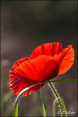 IMG_8501 (skywallkehr) Tags: fleurs coquelicots