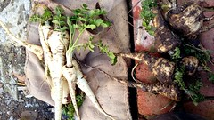 Free range parsnip :-) (Snappergus) Tags: soup curry vegetable veg allotment parsnip freshproduce
