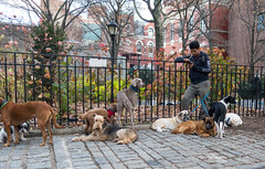 Dogs and a Walker (UrbanphotoZ) Tags: nyc newyorkcity ny newyork dogs standing manhattan cellphone weimaraner poodle upperwestside mixedbreed airedale americanmuseumofnaturalhistory lyingdown dogwalker columbusave theodorerooseveltpark