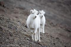Dall Sheep (Jason Pineau) Tags: park mountain mountains animal animals rock sheep wildlife yukon national scree dall territory yt kluane