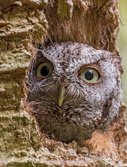 Eastern Screech Owl (ruthpphoto) Tags: owl easternscreechowl screechowl