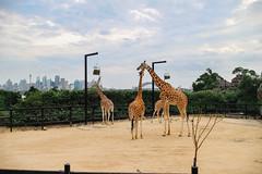 11/52 (Bohemia Heart) Tags: zoo sydney giraffe tarongazoo