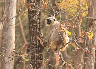 Common Langur - Presbytis entellus
