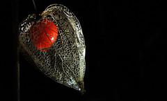 Playing with Light - explore 09. March 2016 (Nephentes Phinena ☮) Tags: chineselantern japaneselantern lampionblume wintercherry physalisalkekengi bladdercherry nikond300s strawberrygroundcherry