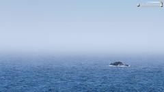 Humback whale (dieLeuchtturms) Tags: sea canada fog america mammal meer nebel britishcolumbia vancouverisland northamerica whales amerika wale kanada megapteranovaeangliae 16x9 vertebrates pazifik seafog säugetier mysticeti cetacea humbackwhale barkleysound vertebrata nordamerika brokengroup buckelwal pacificrimnationalparkreserve balaenopteridae wirbeltiere seenebel bartenwale furchenwale alberniclayoquota