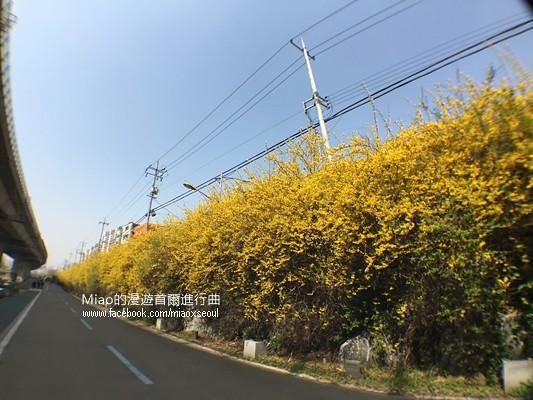 안산공원벚꽃35
