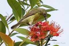 olive-backed sunbird (cinnyris jugularis) (Colin Pacitti) Tags: bird outdoor sunbird wildbird coth olivebackedsunbird cinnyrisjugularis feedingbird eiap fantasticwildlife coth5 birdperfect hennysanimals sunrays5