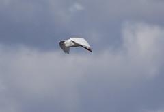 Egret (5) (Mal.Durbin Photography) Tags: nature birds newport naturereserve newportwetlands maldurbin goldcliffnewport