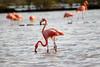 Flamingos (jeandubrulee) Tags: bird netherlands dutch birds animal san flamingo sint flamingos tourist curacao caribbean curaçao antilles antillen caribisch willbrordus williwood willibrordo